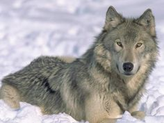 wolves pictures | ... over 75% of Endangered Wolves in Idaho & Montana | The Green Life