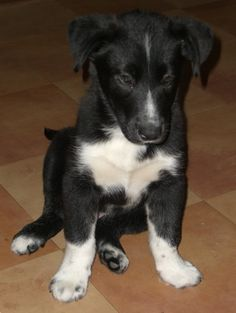 Lab/Border Collie mix... what my dog looked like as a puppy, except mine has less white and one ear that sticks up :)