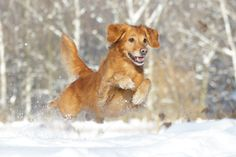 flying golden retriever  Copyright: SITZ UND BLITZ Hundefotografie