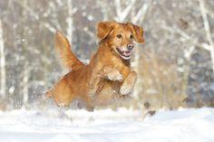 flying golden retriever  Copyright: SITZ UND BLITZ Hundefotografie