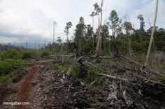 Palm oil is a major driver of peatlands destruction in Indonesian Borneo, finds new study This is why Orangutan Land Trust and other NGO members of the RSPO encourage growers to go beyond the newly adopted P & C of the RSPO and amongst other actions, to not plant on peat at all.