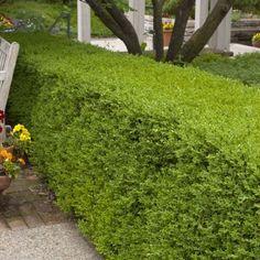 Wintergreen Boxwood | Naturehills.com Boxwood Landscaping, Front Yard Landscaping, Backyard Landscaping, Landscaping Ideas, Tropical Landscaping, Lawn And Landscape, Landscape Edging, Garden Shrubs, Lawn And Garden