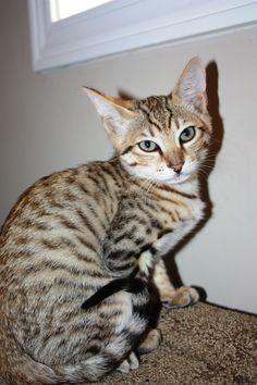 """My Savannah Kitten """"Zuri"""""""