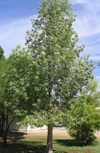 A popular evergreen used in hot climates, brachychiton populneus, or bottle tree, is often planted in narrow spaces.