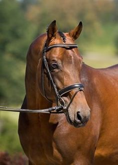 Sir Sinclair, Dutch Warnblood. This is who we bred our National Champion Arabian Jumper to.