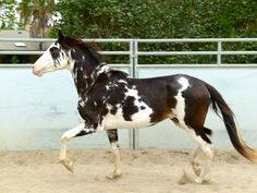 seal brown (?) sabino - Costa Rican Sadle Horse colt Carrizo