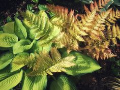 Hostas and Autumn Fern Plant Combination