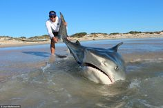 Jethro Bonnitcha holds a large tiger shark's tail as it thrashes around in the water after...