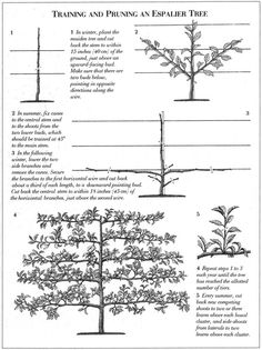 Espalier how to; someday I want to do this with all of my fruit trees instead of. Espalier how to; Potager Garden, Veg Garden, Fruit Garden, Garden Trees, Edible Garden, Garden Landscaping, Vegetable Gardening, Container Gardening, Espalier Fruit Trees