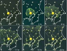 Amoeboid designs complex transportation network, eats oats / via old me