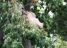 Fall webworm is numerous throughout the state. It lives as a group of caterpillars that spin a communal silk web. This silk nest typically encloses the end of the branch and associated leaves- University of Illinois
