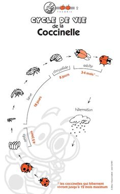 Ladybirds breeding: a complete student file for each cycle with … – Education Subjects Grade 2 Science, Primary Science, Science Art, Life Science, Science And Nature, Science Montessori, Science Activities, Preschool, Science Experience