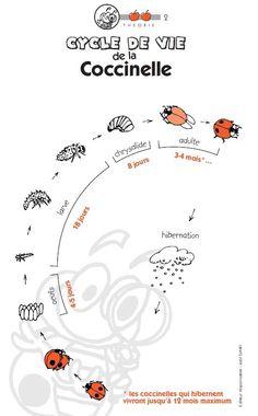 French Science: le cycle de vie de la coccinelle