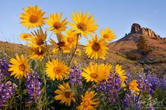 Wenatchee Wildflowers photo