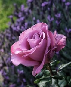 moon shadow hybrid tea rose