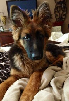 """""""Friday"""" 5 month old long haired German shepherd."""