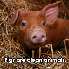 Ten Fascinating Facts About Pigs | Blog | peta2.com