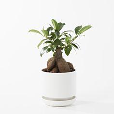 【ネット限定】瀬戸焼の鉢 ガジュマル 4号 Ficus Microcarpa, Muji, Dog Food Recipes, Planter Pots, Green, Dog Recipes