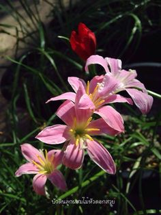 #บัวดิน #บัวดินที่ไม้หัวดอกสวย #ไม้หัวดอกสวย #Flower #flowerpower #flowerphotography #Rainlily #lily #floraphotography #aftertherain #naturephotography #nature  สนใจสั่งซื้อที่ Line ID : Longsuttirak