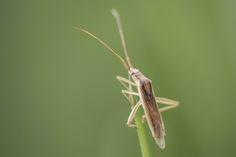 Wanze | Bug (Heteroptera)