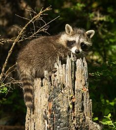 Baby raccoon playing on a stup