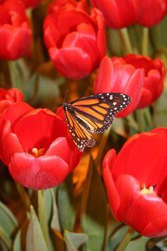 Tulips And Butterflies  By Trudi Olfert