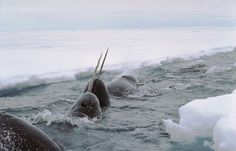 For centuries, the purpose of a narwhal's tusk has eluded explanation.