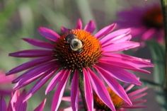 A bee gathers pollen from a coneflower