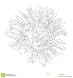 Beautiful Monochrome, Black And White Aster Flower Isolated. - Download From Over 42 Million High Quality Stock Photos, Images, Vectors. Sign up for FREE today. Image: 42508213