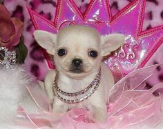 Princess Chihuahua