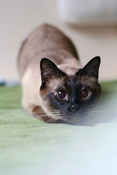 Siamese Cats Applehead Hello there bright people. I Love Cats, Crazy Cats, Cute Cats, Funny Cats, Adorable Kittens, Siamese Kittens, Cats And Kittens, Tabby Cats, Bengal Cats