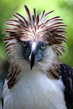 Slideshow: Philippine Eagles by Klaus Nigge - and how I feel today _ Lu