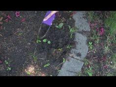 Garden Bandit™ Hand Loop Weeder   YouTube