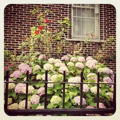 Lafayette Ave and Washington Ave Taken with Instagram #brooklyn #floral #rose #hydrangea #garden #Clinton Hill #Fort Greene