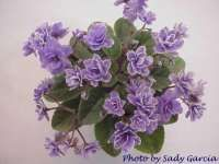 Gleeful Elf, African Violet Society of America | Promoting and Growing the African Violet since 1946