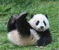 Qlychee Daily Panda 0822 #panda