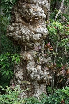Nature - Old Tree by Rafael Salazar Artist from Colombia Tree Burl, Weird Trees, Old Trees, Beautiful Forest, Tree Trunks, Big Tree, Tree Forest, Growing Tree, Trees And Shrubs