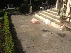 Bill, Ben, Splosh and Pecks - Three of the four resident flamingos @ The Kensington Roof Gardens