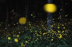 Long exposure firefly images by Tsuneaki Hiramatsu.
