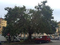NAPOLI: SOS PER L'ALBERO DI PIAZZA DEGLI ARTISTI http://www.napolitoday.it/blog/vomero/napoli-sos-per-l-albero-di-piazza-degli-artisti.html
