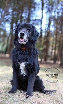 Chief - Labrador Retriever/Golden Retriever mix - 12 yrs old -  Male - Smiles Forever Animal Rescue  -Fincastle, VA. - http://www.smilesforeveranimalrescue.org/adoptable-pets.html - https://www.facebook.com/SmilesForeverAnimalRescue/timeline - https://www.petfinder.com/petdetail/32240825/