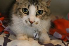 Adopted! Iris is a 3 year old brown and grey domestic short hair!