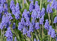 The Best Perennials to Plant in the Fall - Grape Hyacinth