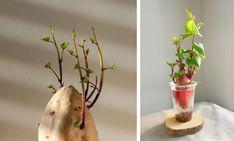 Batáty: Vedeli ste, že sú to zemiaky plné farieb? Teraz je čas na ich predpestovanie | Záhrada.sk
