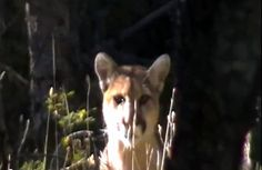 Some elk hunters become the hunted when a cougar stalks them through the trees.