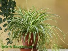 This is the Spider Plant, one of the best plants for improving air quality indoors. It has one of the top removal rates of formaldehyde from tainted indoor air.