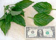 """""""Any of you eaten or grown Neapolitan basil? I've grown Sweet, Genovese, Greek, and Thai before, but never Neapolitan. The leaves are quite large and the flavor is very different.with a pronounced licorice flavor and some pepperiness."""