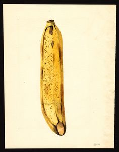James Marion Shull, banana, 1919,  (fonte: U.S. Department of Agriculture Pomological Watercolor Collection. Rare and Special Collections, National Agricultural Library, Beltsville, MD 20705)