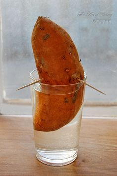 """How to Grow Sweet Potatoes -- put the bottom half of a sweet potato in a glass of water (use toothpicks to keep it propped), put it in a sunny window and wait for tiny vines (""""slips"""") to start growing; once they're about 20 cm long they're ready for planting - each slip will grow 8-12 sweet potatoes."""