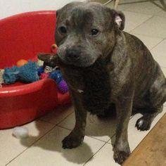 Staffordshire Bull Terrier @apolo.athena_bbstaffy •